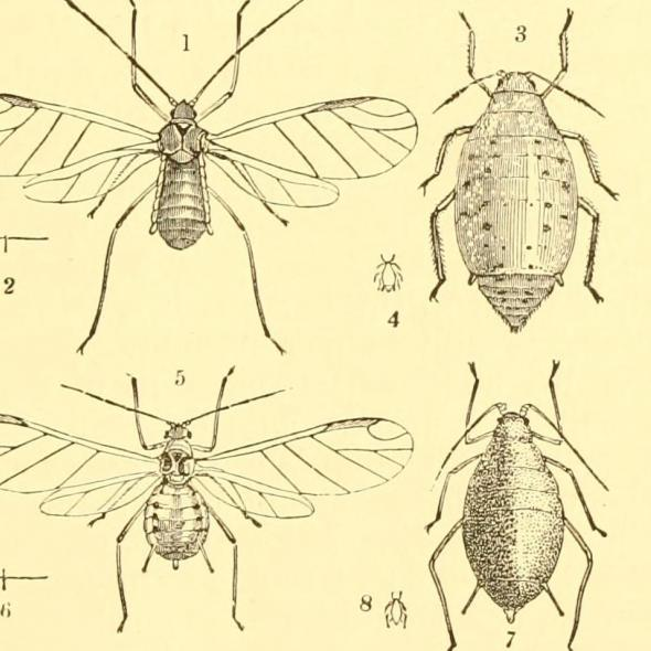 Illustration of a turnip fly from Annual Series of Reports on Injurious Insects and Farm Pests.